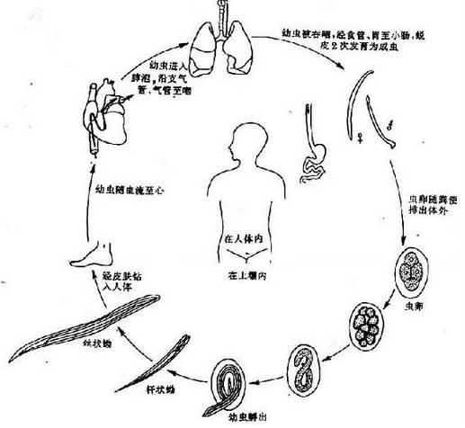 十二指肠钩虫发育史