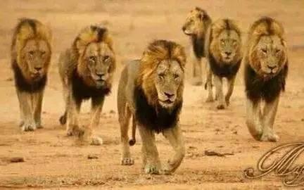 坏男孩雄狮联盟_造成这一切的则是由6只雄狮组成雄狮联盟, 它们被人称为\