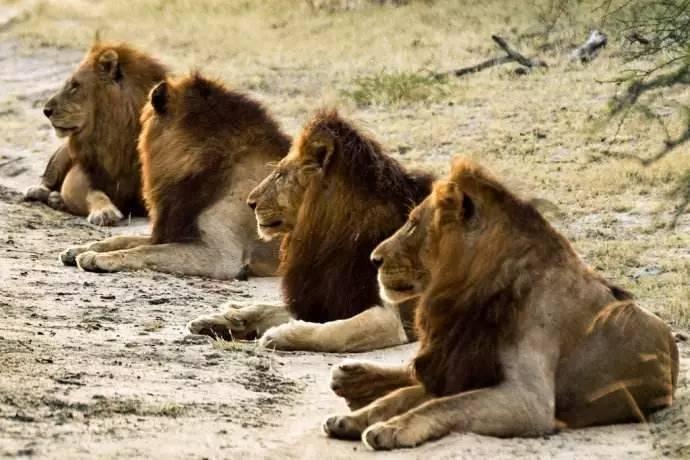 坏男孩雄狮联盟_blackview   揭秘南非最传奇狮群\