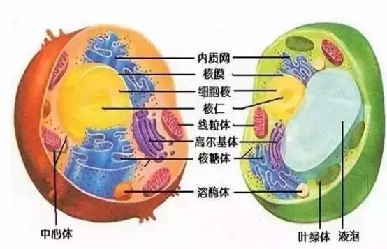 知道植物细胞有细胞壁,而动物细胞没有.还能分得清线粒体和叶绿体.
