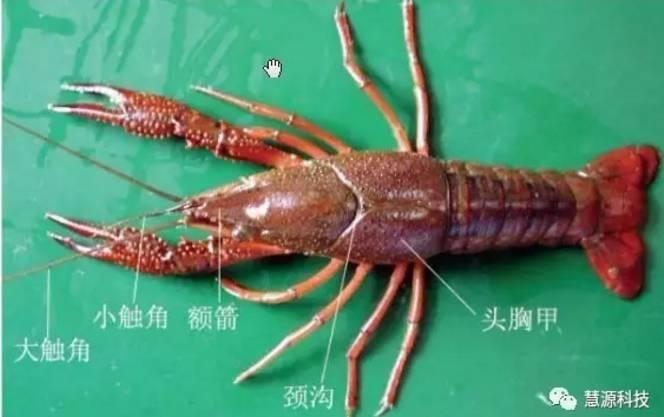 小龙虾,鱼,虾,蟹,鳖解剖图大全《收藏》