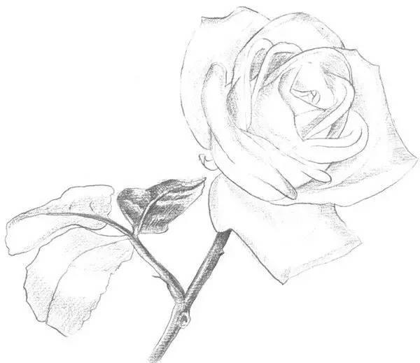 绘学习 |素描一枝白玫瑰的绘画技法