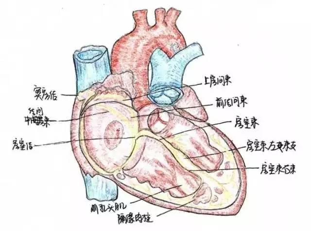 脑干外形(腹侧面) 别看在脑干中的垂体很小,它在神经系统和内分泌腺