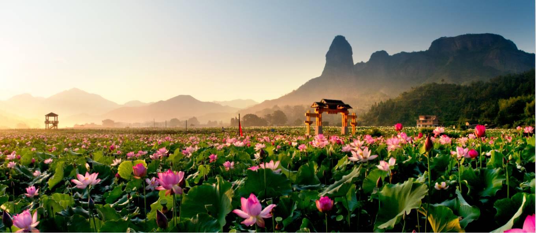 万隆乡铁狮寨脚下的数百亩莲花摇曳于清水,绿叶之间,似九天仙姝,或