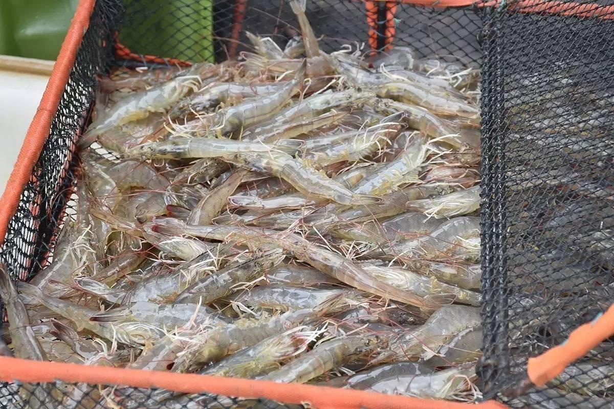 厉害了,这位如东白对虾养殖老板单棚最高产1624斤