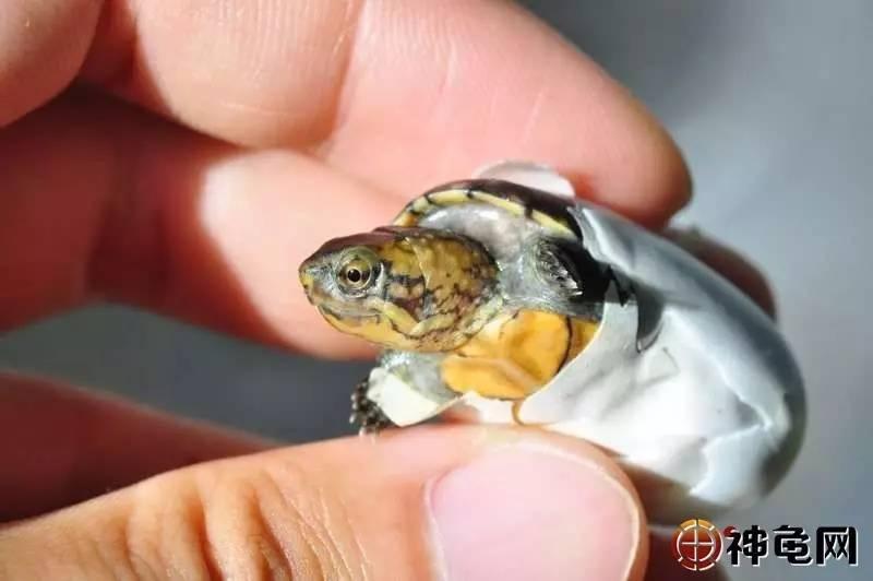 龟蛋孵化后期,要注意些什么