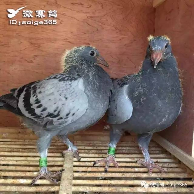 鸽子鸽鸟类鸟毛衣640_640珍珍编织蝙蝠衫视频动物图片