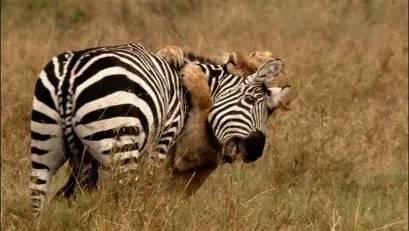 自然传奇 动物的杀手锏