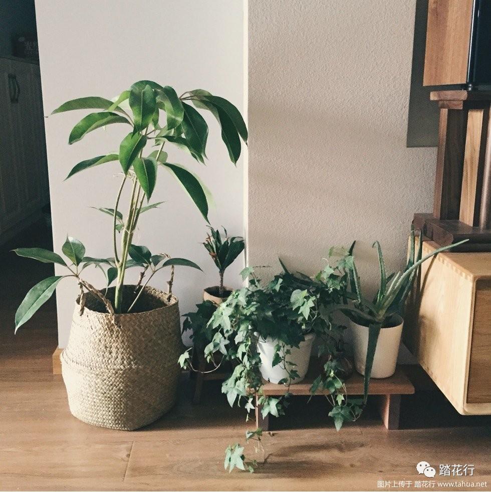 适合北欧风格大叶植物