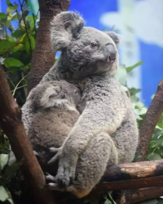 (摄于长隆野生动物世界) 假如你想亲手照顾考拉, 近距离观察它们萌萌