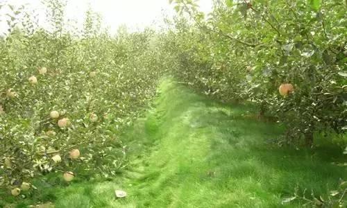 有机生态农业――果园有机生草好处多