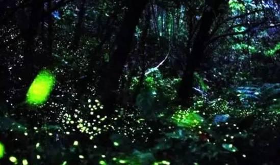 位于巴蜀四大古城之一邛崃市的天台山,是目前亚洲最大的萤火虫观赏
