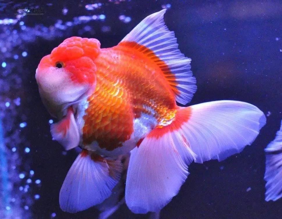 【金鱼美图,趣图】红白大泰狮(活泼,飘逸的代表)
