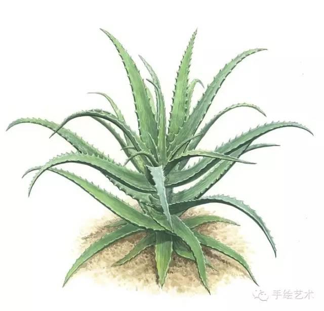 【手绘彩铅】逼真植物彩铅绘 oh, hyeon-gyun精品集