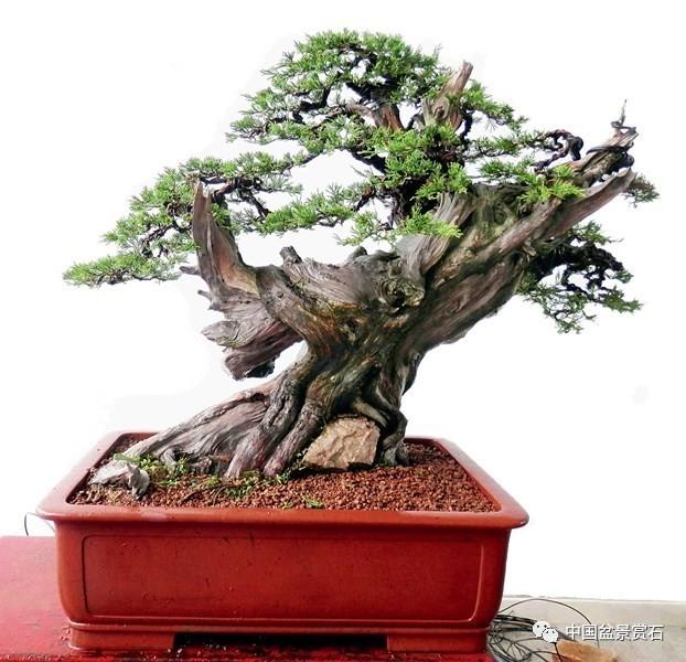 神奇的柏树盆景造型——樊顺利大师盆景制作纪实图片
