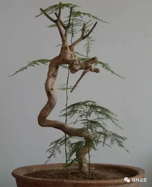 孔雀形树木盆景的造型方法,孔雀形主要步骤选株,锯杆,制作孔雀身造型