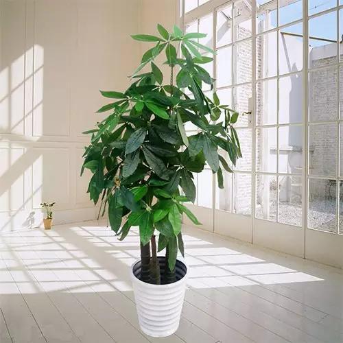 都会在家中摆放发财树,就是为了能够招财进宝,如果在风水位放发财树