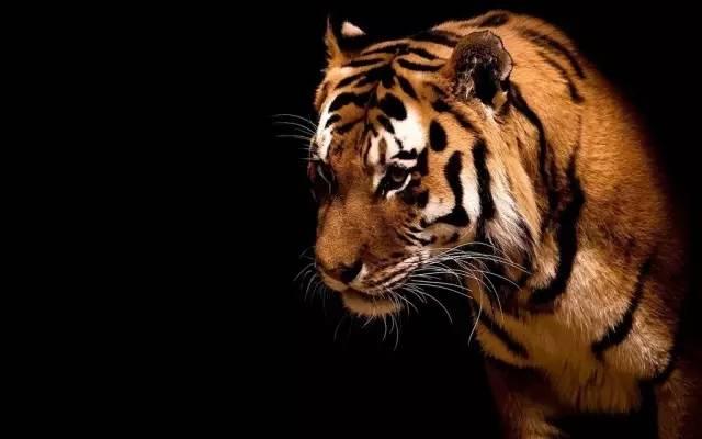 一只饥饿的老虎(深度好文)