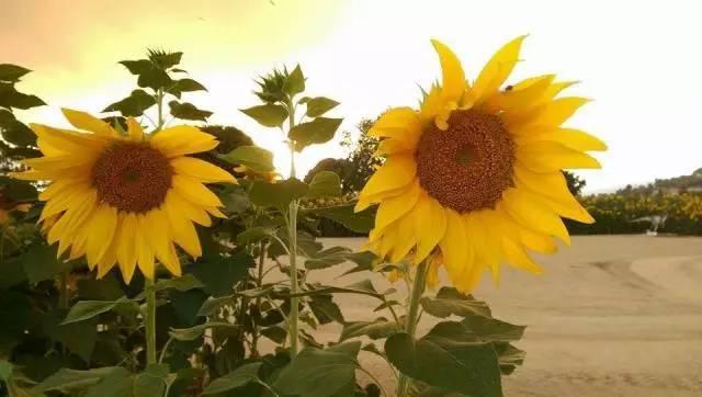 qq农场向日葵几季_温暖阳光游~南加州向日葵花田攻略