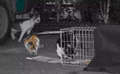 2 TNR第二步绝育。母猫因为需要剖腹开刀,术后伤后恢复期较长在2周左右。公猫伤口小,易恢复在1周左右。恢复后即可放归。而对于亲人的流浪猫一般会考虑找领养。 3 放归前,在手术中还需加一个步骤:剪耳标。 绝育时一般会加以标记此犬猫是否已绝育,而标记的方式从以前剪去耳翼的侧面一部份(三角形),演变成现今的剪去一边耳尖的一小角,以分辨已绝育与否。标记与否及标记位置在国内目前仍没有一定的共识,但标记的最终目的,是要让不认识该犬猫的民众,在不靠近不接触不捕捉之情况下,单纯以一定距离下便可观察出该犬猫是否已经绝育