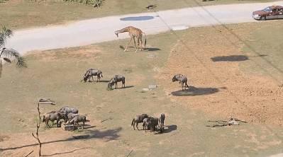 乘坐720°空中缆车游广州长隆野生动物世界,重点是~免费哦!
