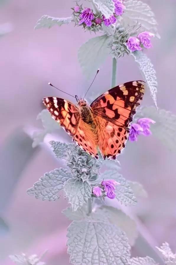 世界蝴蝶大全,美醉了! - 冰融 - 冰融的博客