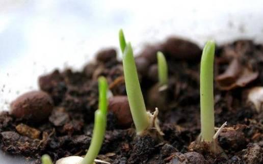 大蒜生长生育周期是怎么样 大蒜生长过程中的习性是怎么样
