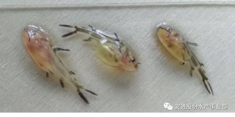 黄颡鱼苗哪里有_黄颡鱼苗哪里有卖的_黄颡鱼能和金鱼混养吗