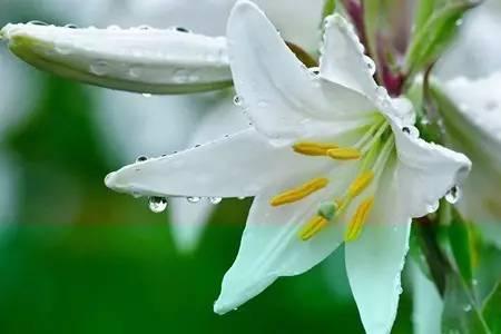 【夜读】心田上的百合花