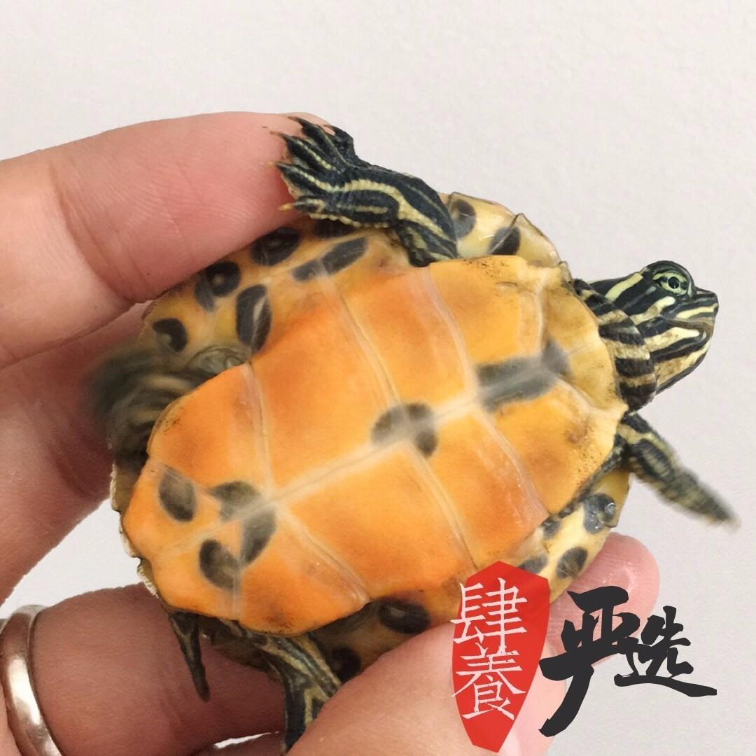 乌龟,又称草龟,香龟、泥龟、 臭乌龟、金龟等,..._好心游戏网