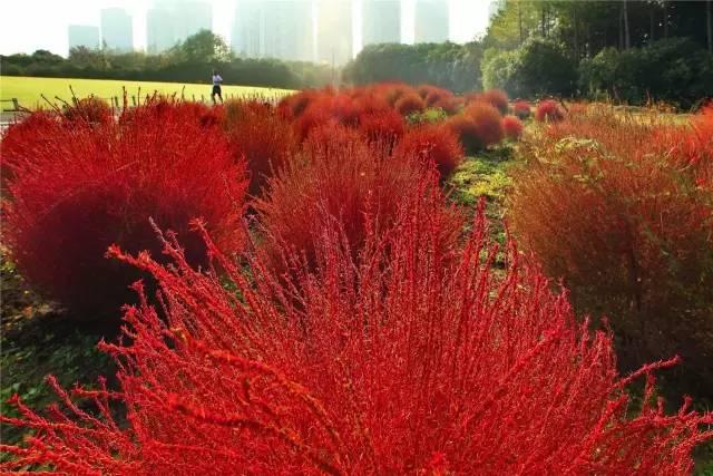 告诉大家一个好消息,咱们世纪公园也种植了大面积的红叶地肤呢,这可是图片