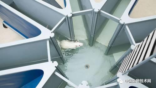八臂水迷宫是评估啮齿类动物工作记忆的常见测试.