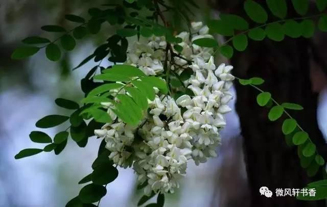 秋天的时候,老槐树便伸展开无数只手臂,密密麻麻的叶片间,开满簇簇