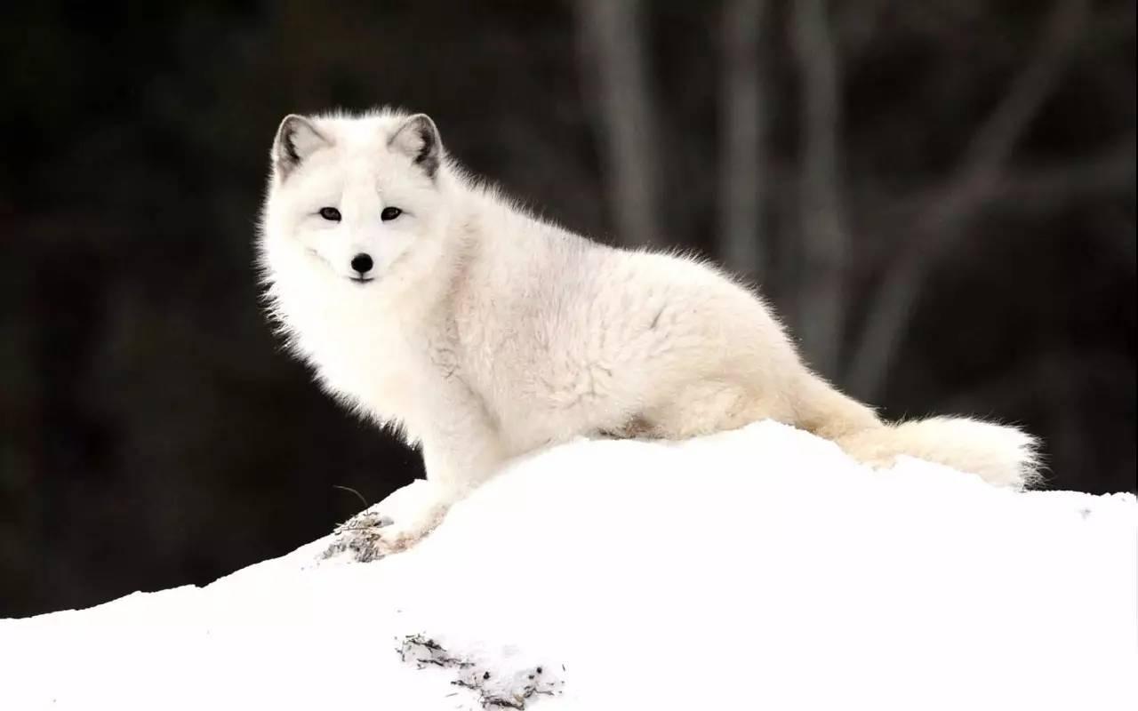 北极狐壁纸图片