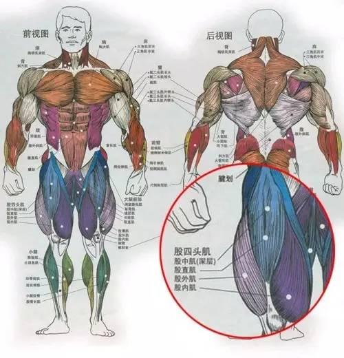 日本av波衣吉野多的英文名_大腿肌肉前面有股四头肌,后面有股二头肌英文名(biceps femoris