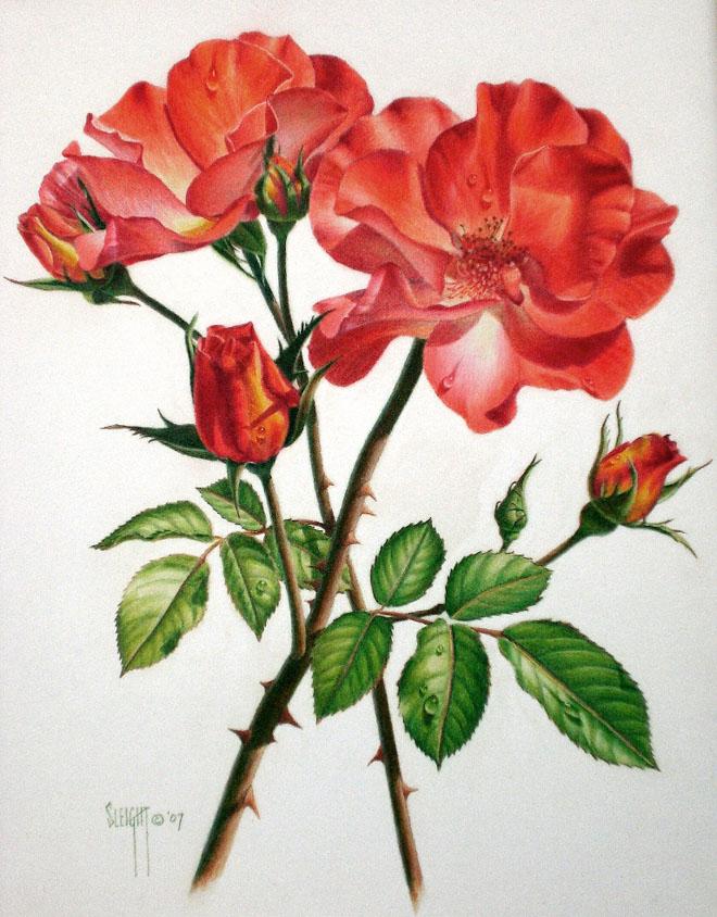 太美了 一组非常漂亮的手绘玫瑰花