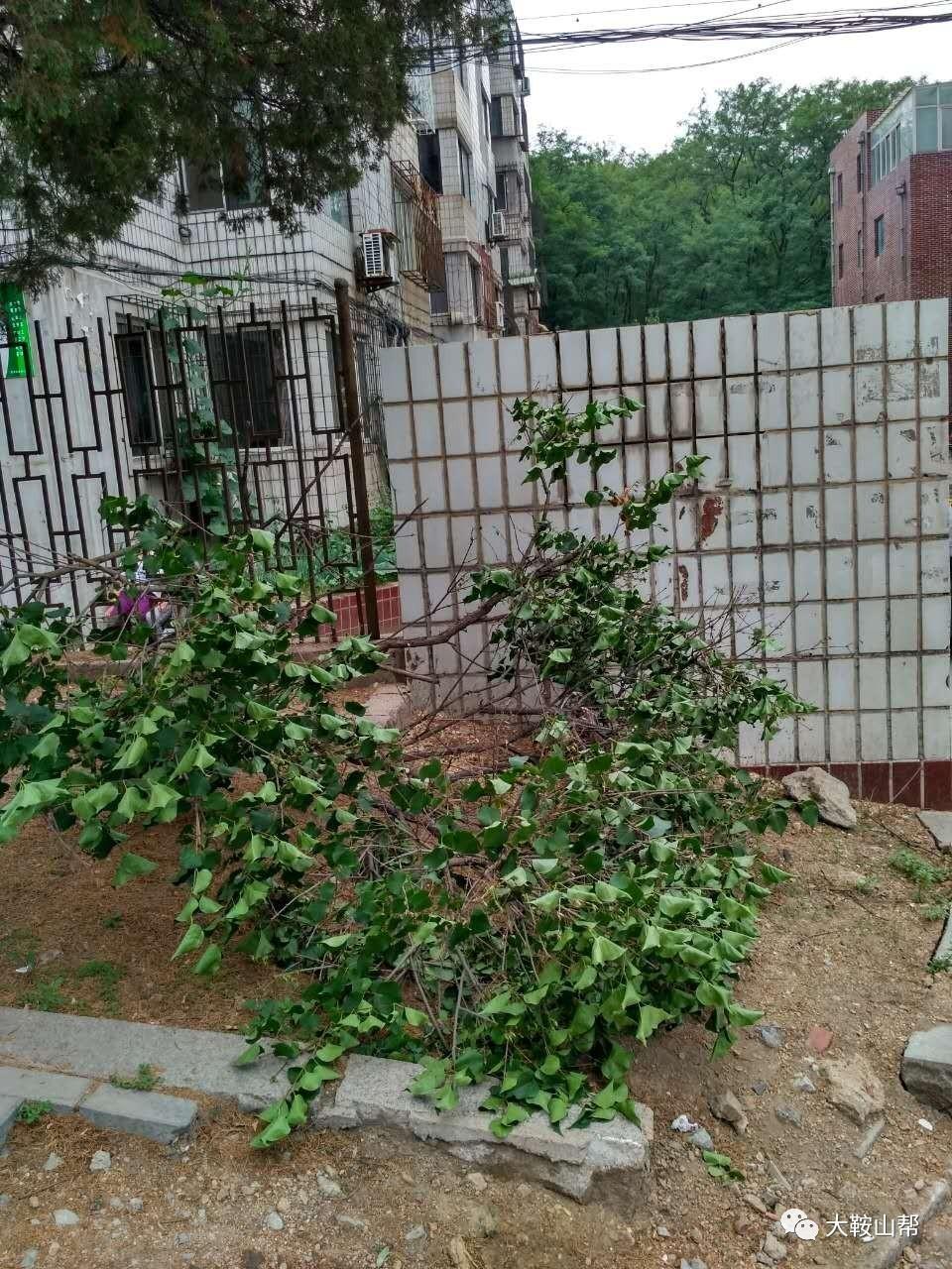 可就在14日,硬被当地社区工作人员砍伐掉了,理由是:丁香树容易砸着人.茶花与含笑的区别图片