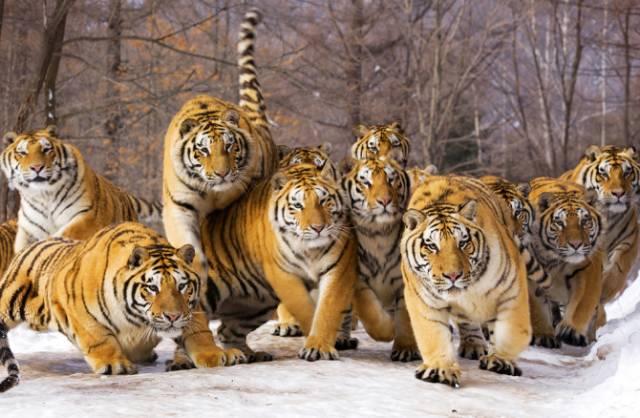 濒临灭绝的东北虎