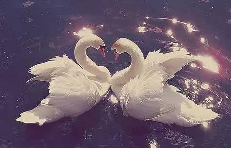 天鹅之恋 | 演绎永不褪色的爱情!免费赠送送施华洛世奇宝石镂空手镯!