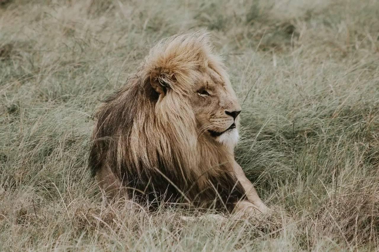 壁纸 动物 狮子 桌面 1280_853