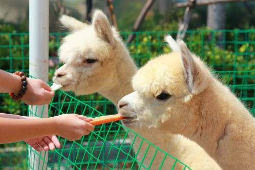 购买饲料与羊驼近距离互动,让孩子与可爱的小动物一起嬉戏玩耍~ 奈良图片