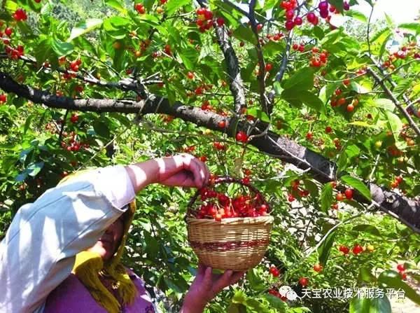 樱桃树不同季节修剪,方法大不同图片