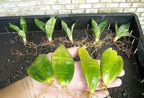 用一片叶子就能长满一大盆的植物