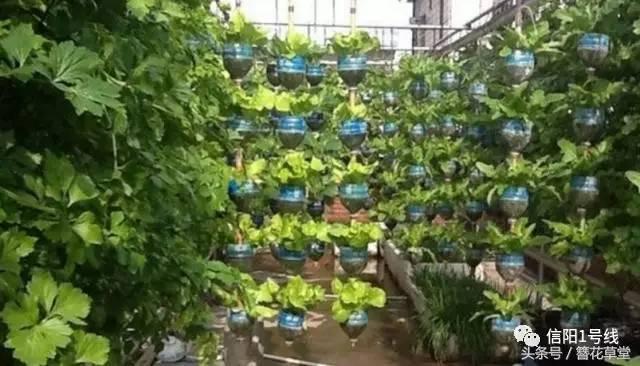 塑料瓶种�9f�x�~j�>�X_他捡了1000个塑料瓶,在楼顶造了个菜园子成网红了