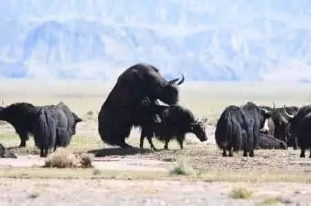 西藏野生动物们的世界欢迎您!