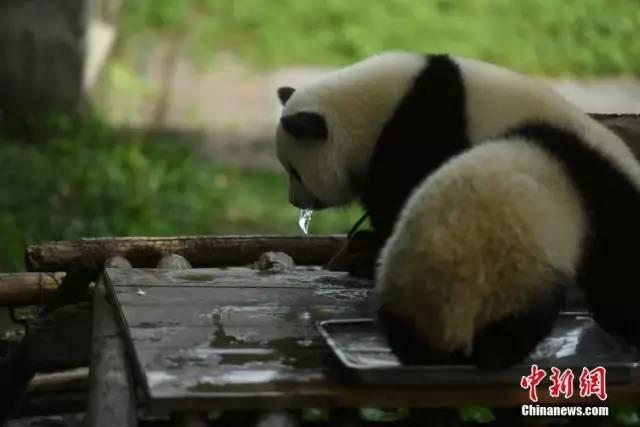 18日,重庆持续高温天气,杨家坪动物园工作人员为大熊猫送冰块消暑.