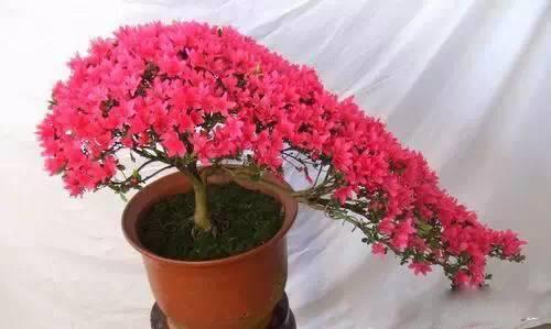 下面我们一起分享家庭养花中的各种小妙招,赶快看看吧!   家庭养花