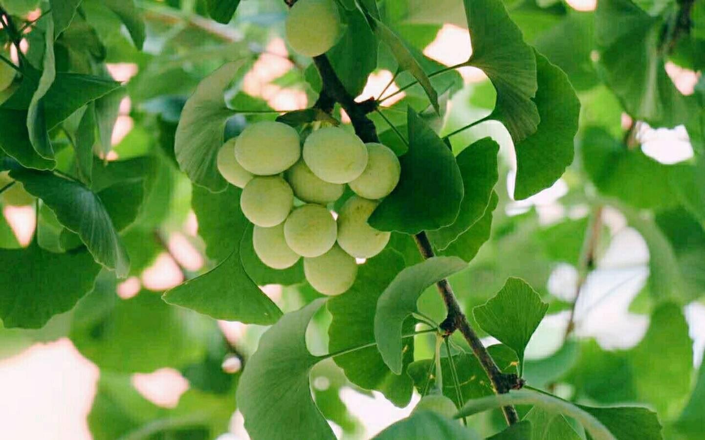 银杏施用有机肥的技术