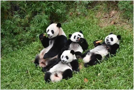 最可爱的三胞胎熊猫