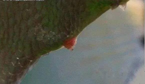 罗汉鱼仔鱼及中鱼公母分辨法图片